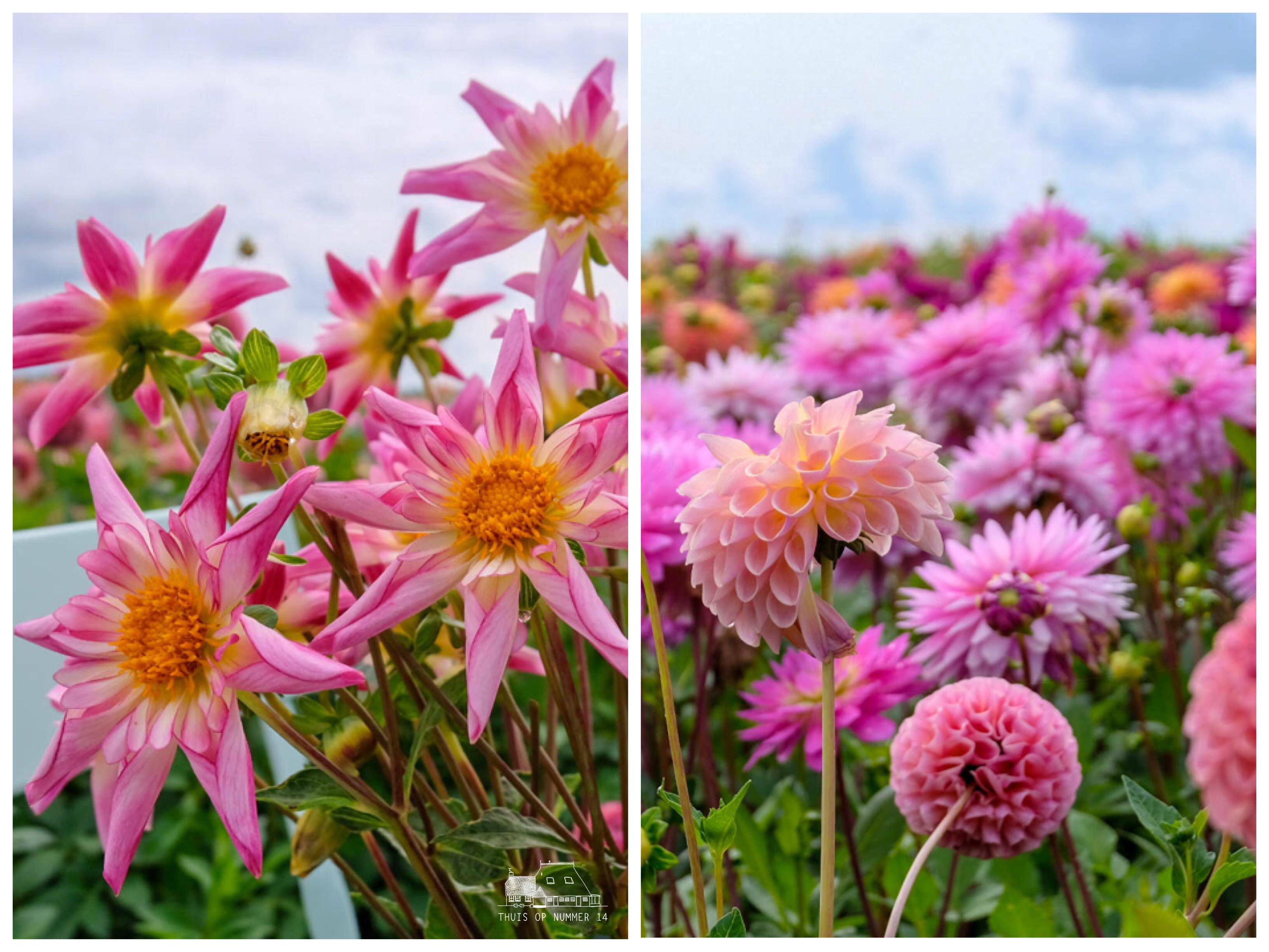 thuis op nummer 14 - Fam FlowerFarm *dahlia's